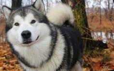 Photo chiens husky rustiques