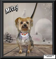 Mitzy! #Yorkie #YorkshireTerrier Small Breed, Little Dogs, Yorkshire Terrier, Dog Grooming, Own Home, Yorkie, Your Dog, Little Puppies, Yorkshire Terriers