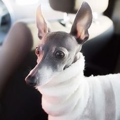 Chloe / webstagram / Italian Greyhounds