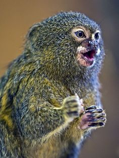 "funkysafari: ""Pygmy Marmoset by sypix "" Marmoset Monkey, Pygmy Marmoset, Cute Creatures, Beautiful Creatures, Animals Beautiful, Baby Monkey Pet, Cute Monkey, Wild Animals Photos, Cute Animal Photos"