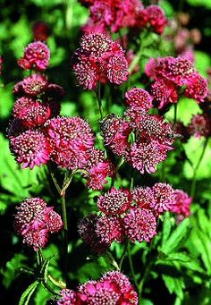 Astrantia major - 'Rose Symphony'