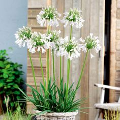 Agapanthus Silver Lining Plants