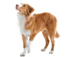Nova Scotia Duck Tolling Retriever. Beautiful, smart, obedient, easy to train, love them!