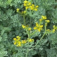 Bv cure how do you get bv infection,how does a woman get a bacterial infection what is bv in women,bv medication bv medicine. Greek Flowers, Fruit Flowers, Bv Home Remedies, Natural Remedies, Ruta Graveolens, Feng Shui Tips, Green Nature, Healing Herbs, Plantar