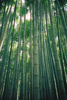 Bamboo Forests.