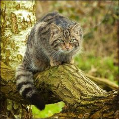 Scottish Wildcat  No angry tabby or feral the wildcat is a genuine wild species of cat; It was the only wild animal to be completely untameable, even when captive reared, Scottish wildcats may look a little like your pet cat but these are incredibly tough super-predators, sometimes called the Tiger of the Highlands. Sadly, the wildcat is critically endangered with less than 100 individuals appearing to remain in the wild and barely a handful in the captive breeding population.