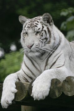 White Tiger #love #tiger