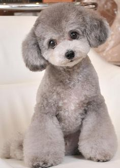 The traits we enjoy about the Active Poodle Dog Toy Puppies, Cute Puppies, Poodle Puppies, Pet Dogs, Dog Cat, Teacup Breeds, Poodle Haircut, Poodle Cuts, Teddy Bear Dog