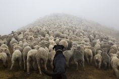 Andrew Fladeboe - Photos - Dogs The Shepherd's Realm