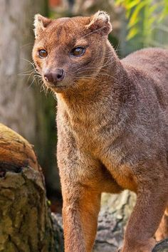 Google+  Meet Fossa, a cat-like, carnivorous mammal that is endemic to Madagascar. It is closely related to the mongoose family