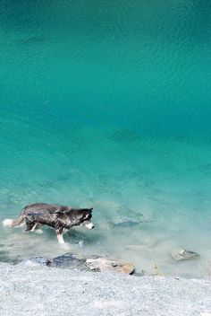 Beautiful - the husky and the water.