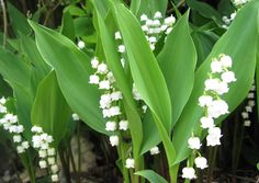 lily of the valley | lily_of_the_valley