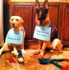 "dog 1: "" i ate elf on the shelf"" dog 2: "" I helped because he is creepy"" LOL DOGS FUNNY!!!!"