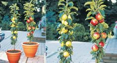 Grow Columnar Apple Trees Vertically