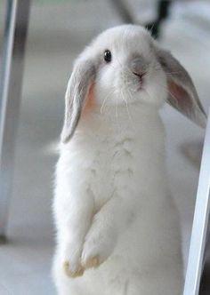 Lapin ~ Rabbit so cute Cute Baby Bunnies, Cute Baby Animals, Animals And Pets, Funny Animals, Cute Babies, Lop Bunnies, Cute Creatures, Beautiful Creatures, Animals Beautiful