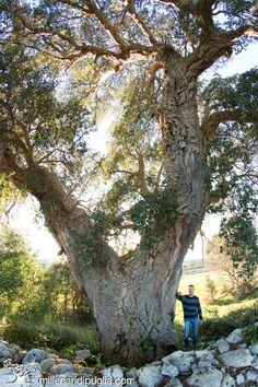 La quercia da sughero più grande di Puglia. Pochi km di Ostuni