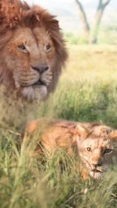 Lion King Images, Lion King Pictures, Tiger Pictures, Lion Photography, Wild Animals Photography, Majestic Animals, Animals Beautiful, Lion King Animals, Cute Wild Animals