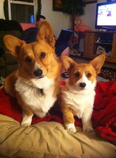 Opie and Cali - Corgis of the Day - Tuesday, April 8th