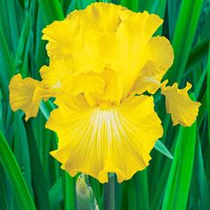 Deep golden-yellow blooms appear in abundance late in the iris season. They are well formed and feature wide, flaring falls that are heavily ruffled and of excellent substance. The rich colour makes Bold Look a fine addition to late-spring borders. Iris Flowers, Yellow Flowers, Colorful Flowers, Perennial Bulbs, Sun Perennials, Partial Shade Flowers, Dutch Iris, Overwintering, Outdoor Flowers