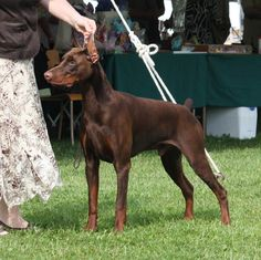 Beautiful Red Doberman; had one when I was little. His name was Cotton.