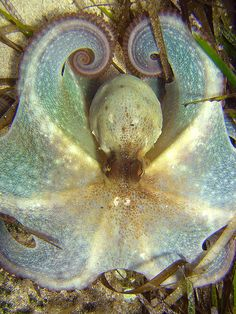 Octopus-amazing creatures under the sea Underwater Creatures, Underwater Life, Ocean Creatures, Vida Animal, Mundo Animal, Beneath The Sea, Under The Sea, Kraken Octopus, Baby Octopus