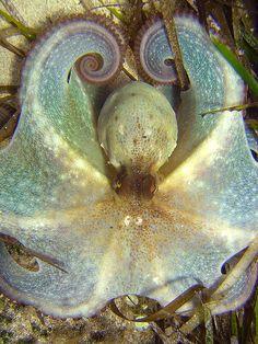 Octopus - Cala Galdana, Menorca.