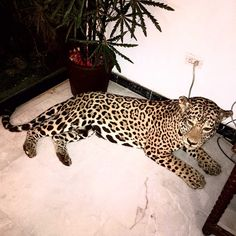 everyone could always use a cheetah