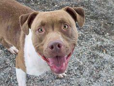American Pit Bull Terrier dog for Adoption in Santa Rosa, CA. ADN-722631 on PuppyFinder.com Gender: Female. Age: Adult