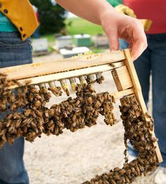 Raising queen bees for other beekeepers--means killing viable queens...let the hive decide when to choose a new queen!