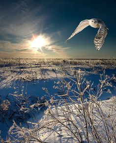 Snowy Owl in flight. Canada. (what an amazing shot!) #photography