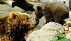 Alaska Grizzly Bears; Grizzly Bear Viewing Tour; AK Grizzly Bear Facts