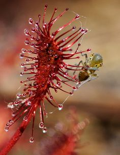 Bad luck--Small bug caught in the sundew (Drosera).