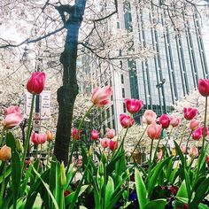 Tulip time in the Queen City  #clt