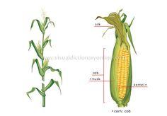 cereals - Google 搜尋 Visual Dictionary, Cactus Plants, Nature, Illustrations, Google, Ears Of Corn, Naturaleza, Cacti, Illustration