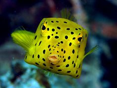 Juvenile Boxfish - copyright Ken Knezick, Island Dreams