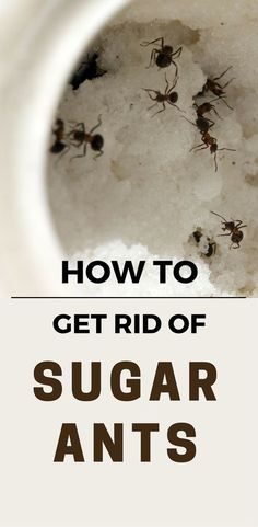 10 best sugar ants images on pinterest cleaning cleaning hacks rh pinterest com