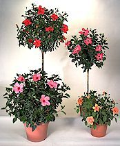 The potted hibiscus is a popular plant across the US in the springtime. They find homes at front porches and out on back patios. I like them grown as a tree. For tips on how to care for these colorful beauties. Read on... What a difference a week makes. The flowers are really starting... #spr #sum