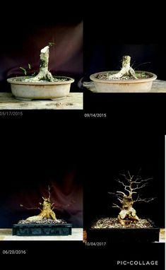 Wrigtia religiosa en formación by Omar #bonsai borincano.