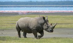 3D printed genetically identical rhino horns are being created to help combat poaching #3Dprinting #genetics #technology #animals #economics