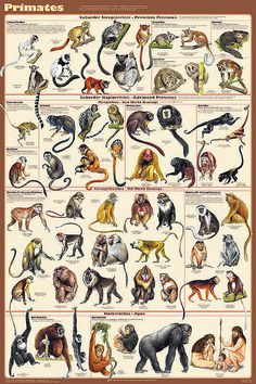 """Primates Poster 24x36 by Feenixx Publishing This order, Primates, includes the lemurs, tarsiers, monkeys and apes. Most live in tropical or subtropical regions of the Americas, Africa and Asia. Fossil.""     (Note: This poster was also pinned to the other Primate boards.)"