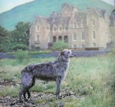 Scottish Deerhound                                                                                                                                                                                 もっと見る