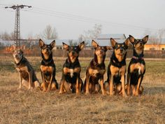 Australian Kelpie Dogs--Look at all the ears! The one that is second to the left sits like my dog when he wants something! Australian Dog Breeds, Australian Cattle Dog, Bulldog Puppies, Dogs And Puppies, Aussie Dogs, Pet Dogs, Doggies, Working Dogs, Beautiful Dogs