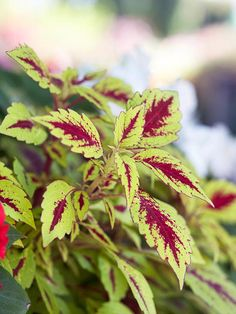 Coleus. Grow coleus for its fantastic foliage -- there are hundreds of varieties, and they feature leaves splashed, spotted, streaked, and otherwise colored with shades of chartreuse, purple, pink, red, black, and green. Make eye-catching combinations by growing a few varieties of coleus together -- or complement your favorite flowers with coleuses that have similar leaf colors.