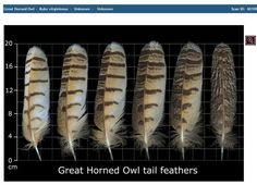 Migratory Bird Treaty Act Makes Collecting Bird Feathers Illegal, the Feather Atlas from USFWS Can Help