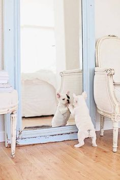 French Bulldog puppy and mirror