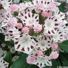 100 x 100 - persistant - mai juin Kalmia+latifolia+Windrose+-+Laurier+des+montagnes+blanc+et+brun+pourpré