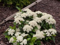 Proven Winners in. Lil' Ditty Witherod Viburnum (Cassinoides) Live Shrub, White Flowers and Color-Changing Berries Garden Shrubs, Landscaping Plants, Garden Plants, Flower Gardening, Garden Spaces, Flowers Garden, Landscaping Design, Shade Garden, House Plants