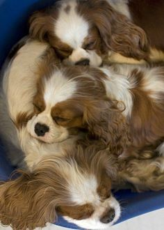 Three floppy-eared puppies sleeping together.