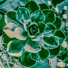 Aeonia madre, los vástagos se sacan del tallo y su floración se puede acelerar disminuyendo el riego en cantidad y frecuencia
