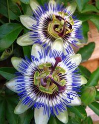 10 Creeping Vines that Provide Privacy - clematis, ivy, trumpet vine, wisteria, climbing roses, jasmine, honeysuckle, blue passion flower*, virginia creeper